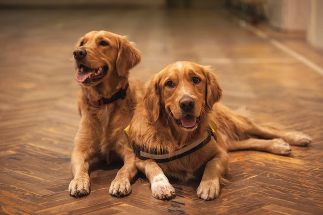 two dogs lying on the floor